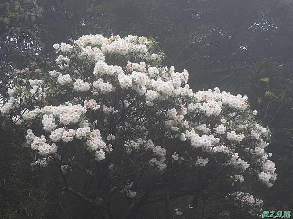 合歡山杜鵑花季(83).JPG