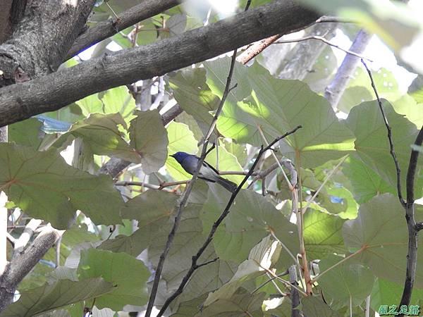 黑枕藍鶲(植物園)20191027(5).JPG