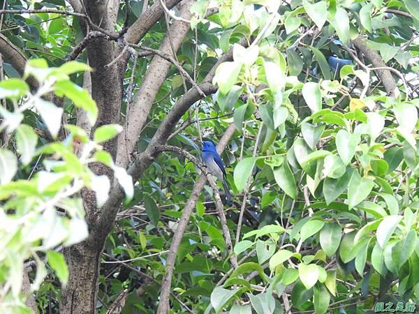 黑枕藍鶲(植物園)20191027(9).JPG