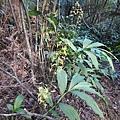 綠花肖頭蕊蘭20200104(6).JPG