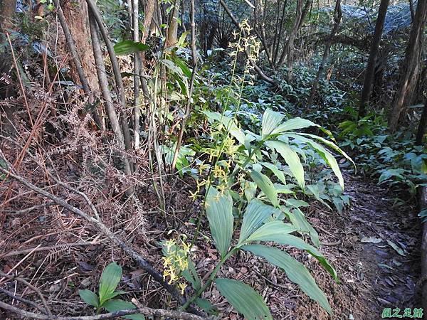 綠花肖頭蕊蘭20200104(2).JPG