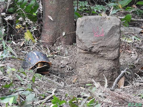 食蛇龜20200418(7).JPG