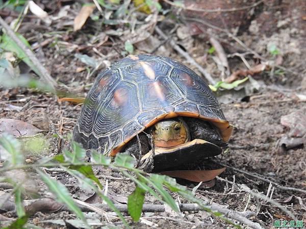 食蛇龜20200418(8).JPG