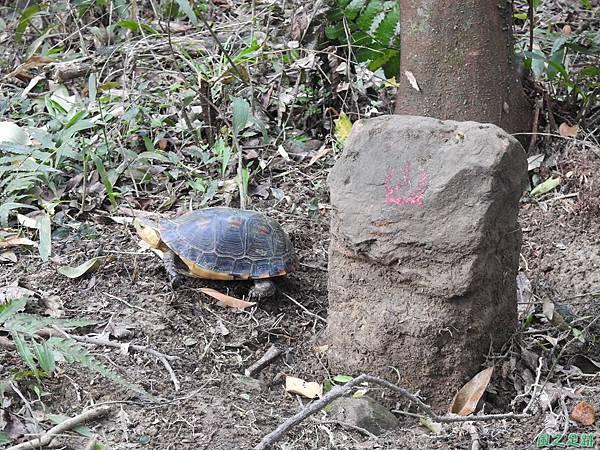 食蛇龜20200418(22).JPG