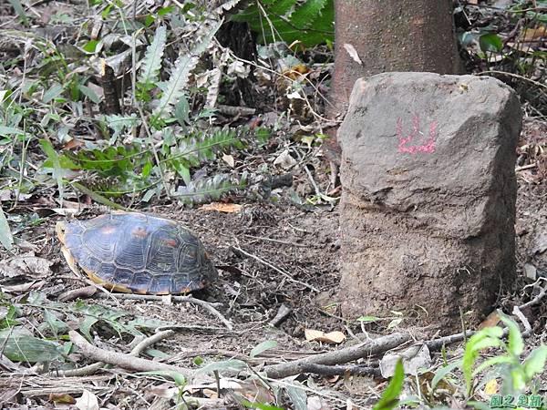 食蛇龜20200418(30).JPG