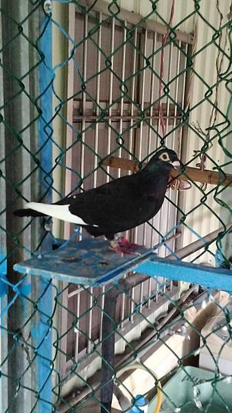 TAIWAN-2011-883316-黑白羽-母