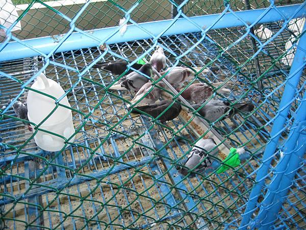 種公鴿餵食