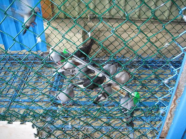 種母鴿餵食