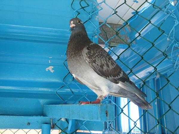 黑斑白羽T.F.P.F.2014-190344-103.5.20 (1)