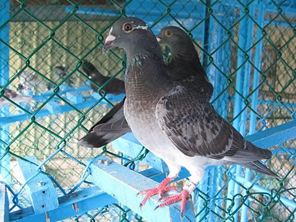 黑斑白羽T.F.P.F.2014-190344-103.5.20