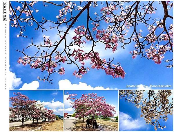 """旅居日本:檳城「桜」の花 Penang """"sakura"""""""