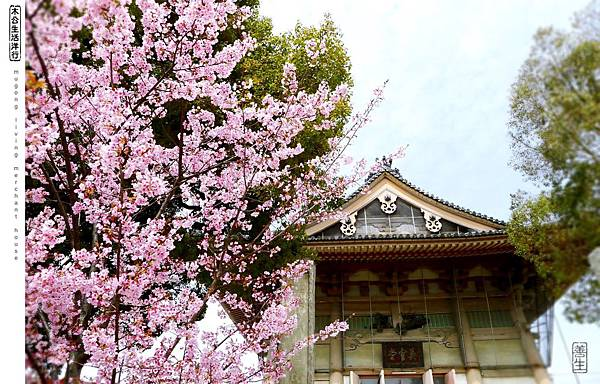 旅居日本:四天王寺市集裡會櫻花 met sakura at Shitennoji