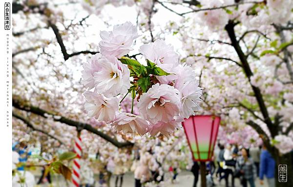 旅居日本:大阪桜の通り抜け mint