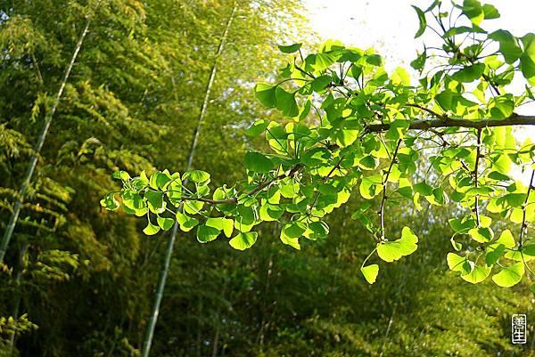 旅居日本:銀杏詩意 Ginkgo green