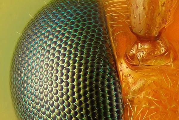 黃蜂眼睛40倍.jpg