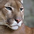800px-Puma_face.jpg