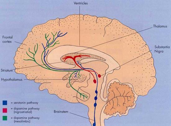 brain_cross_section