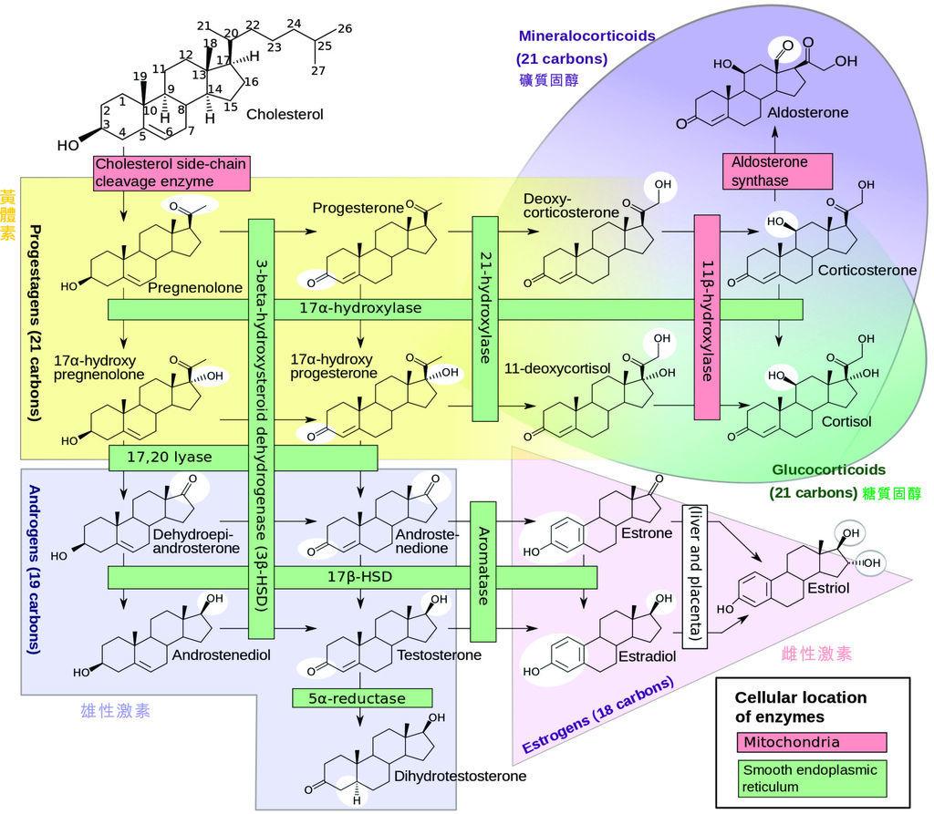 steroidogenesis加註版
