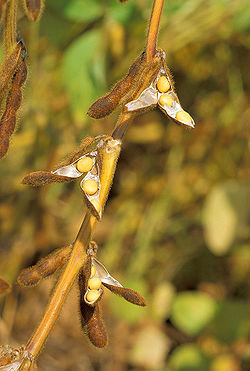 250px-Soybean.USDA