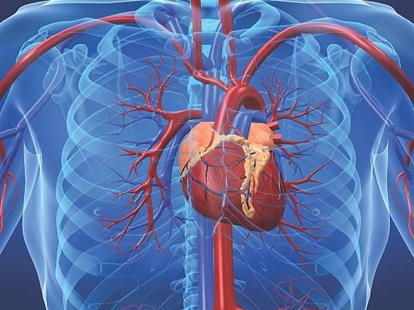 cardiovascular_system