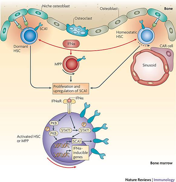 Interferon-α promotes cell cycle entry