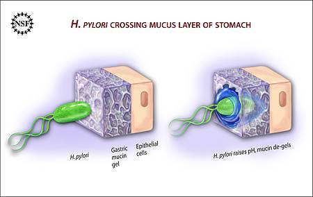 Ulcer-causing_Bacterium_(H.Pylori)_Crossing_Mucus_Layer_of_Stomach