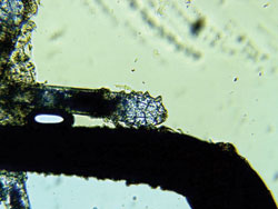A single dead mite. Note the legs sticking straight out.jpg