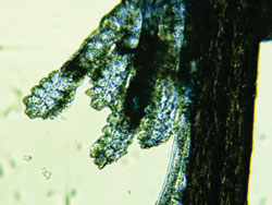 Multiple mites coming from a collarette.jpg