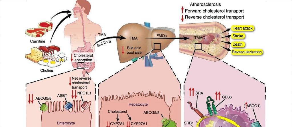 NF-Apr26-Carnitine-Choline-Cancer-and-Cholesterol.jpg