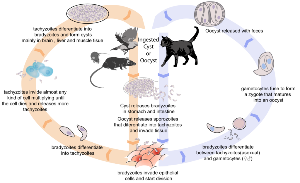 1177px-Toxoplasmosis_life_cycle_en.svg.png