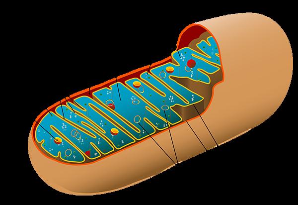 2000px-Animal_mitochondrion_diagram_en.svg.png