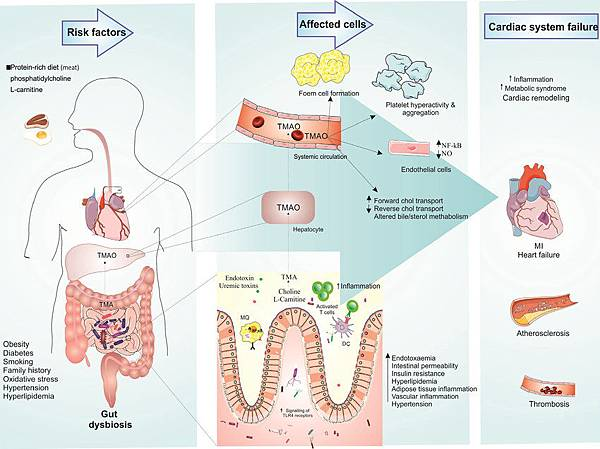 Gut-dysbiosis-and-pathology-of-myocardial-infarction-Genetic-and-different-environmental.png