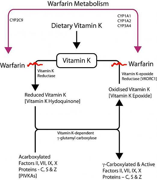 warfarin_outline_vitamin_k-620x713.jpg