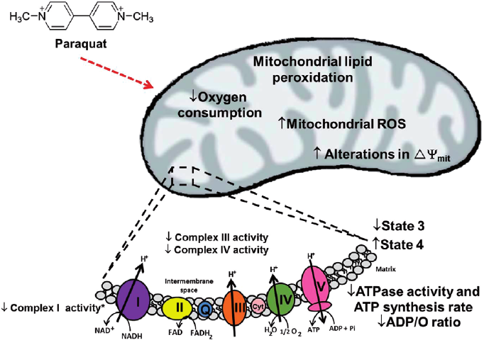 Eff-ect-of-paraquat-PQ-on-mitochondrial-function-Mitochondria-in-paraquat-toxicity.png