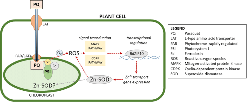 Proposed-role-of-BdbZIP10-in-response-to-paraquat-induced-oxidative-stress-Paraquat.png