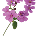 cell_saponaria.png
