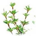 Myrothamnus Flabellifolia.jpg