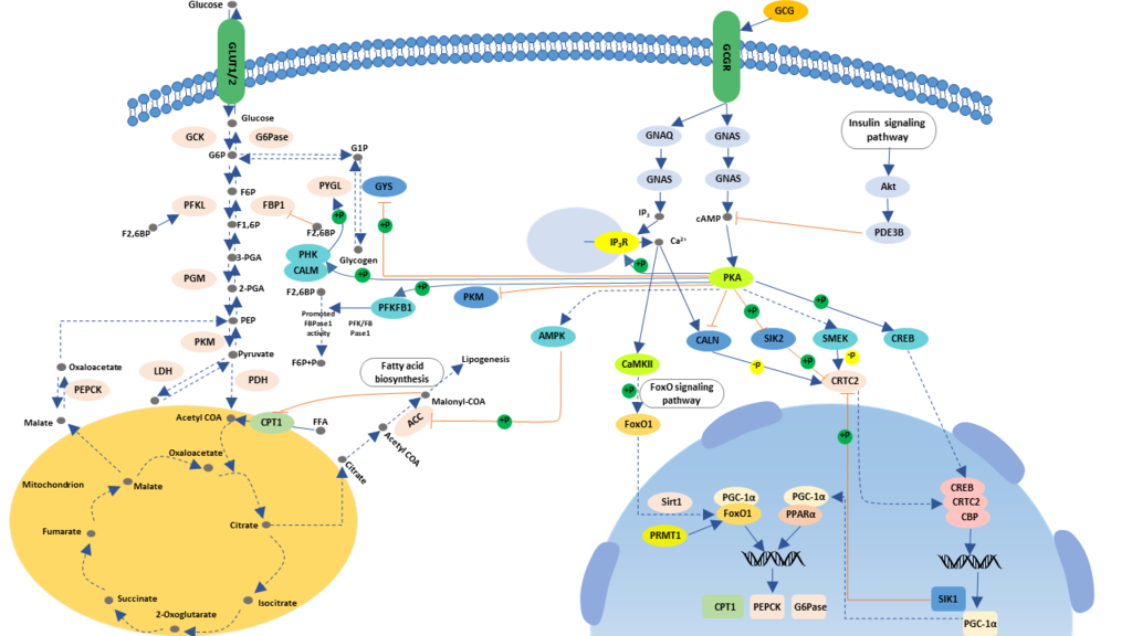 Glucagon-signaling-pathway-picture.png