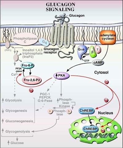 glucagon1.JPG