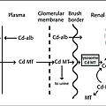 Schematic-diagram-of-cadmium-binding-and-flow-between-plasma-liver-blood-cells-and.png