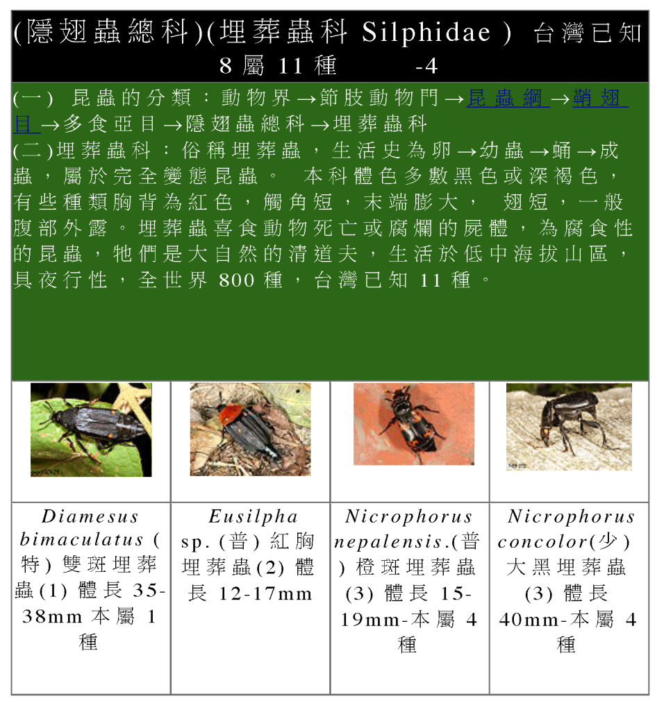 Staphylinidae-11.png