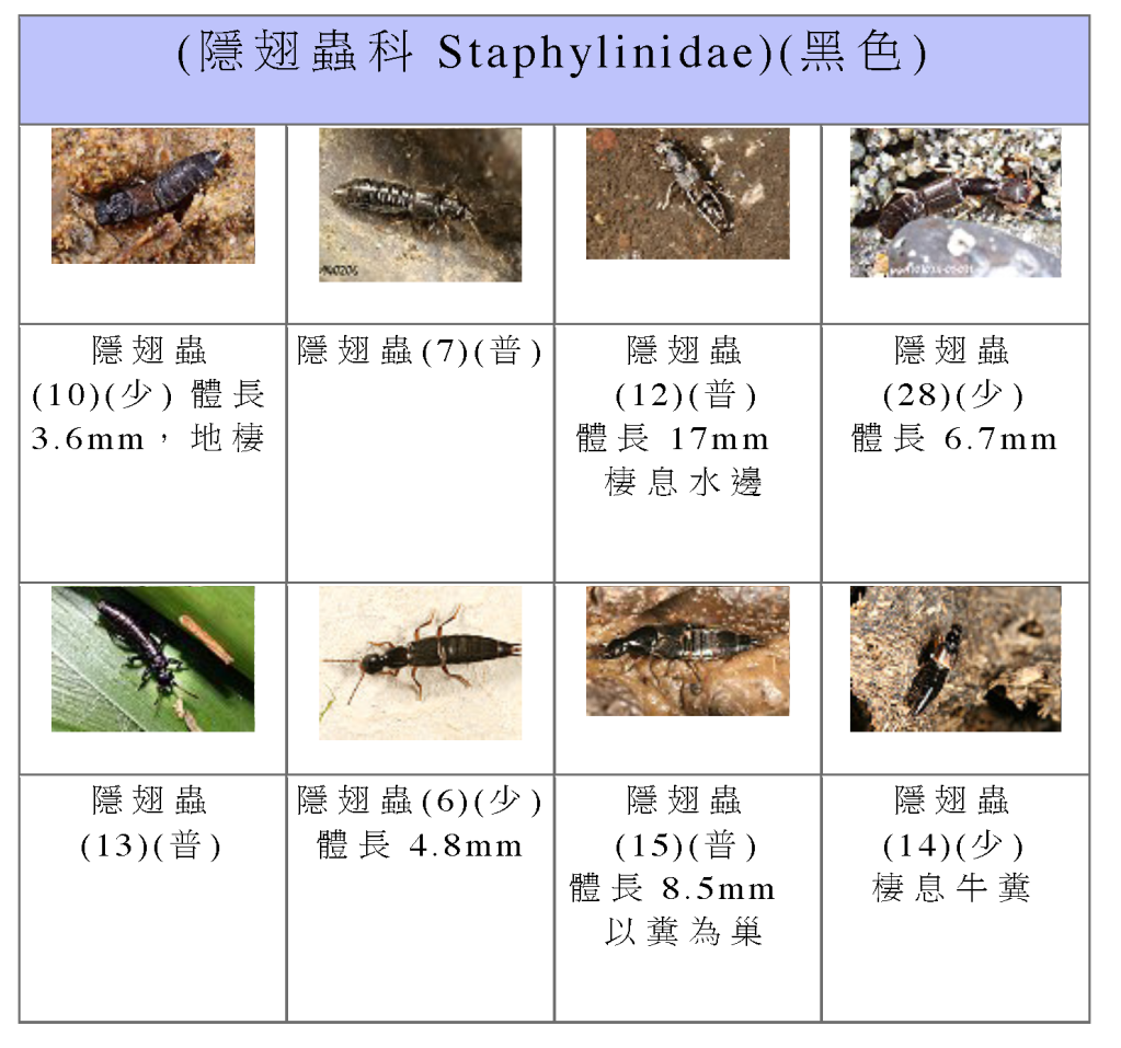 Staphylinidae-06.png