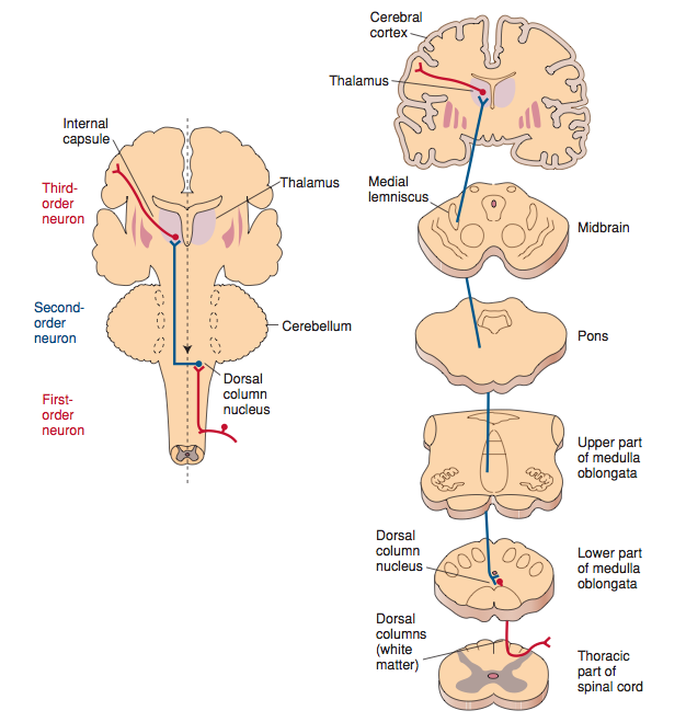 Neural pathway for discriminative