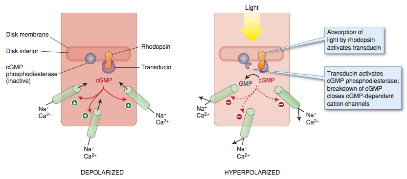 Mechanism of phototransduction