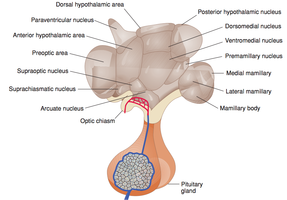 Anatomy of the hypothalamic nuclei