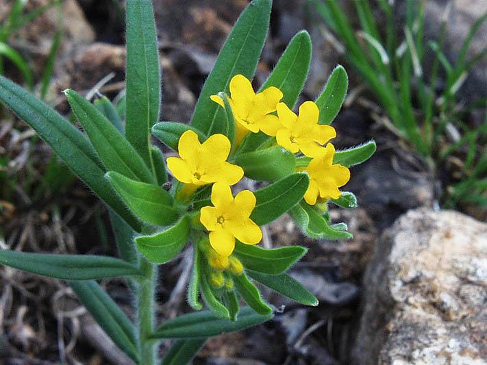 Lithospermum canescens