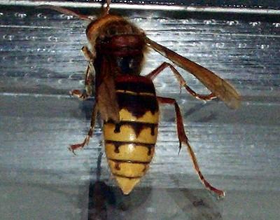 hornet-2.jpg
