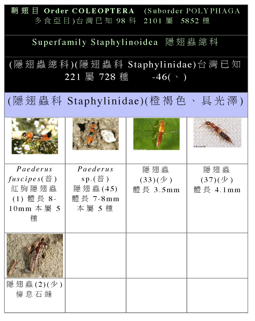 Staphylinidae-01.png