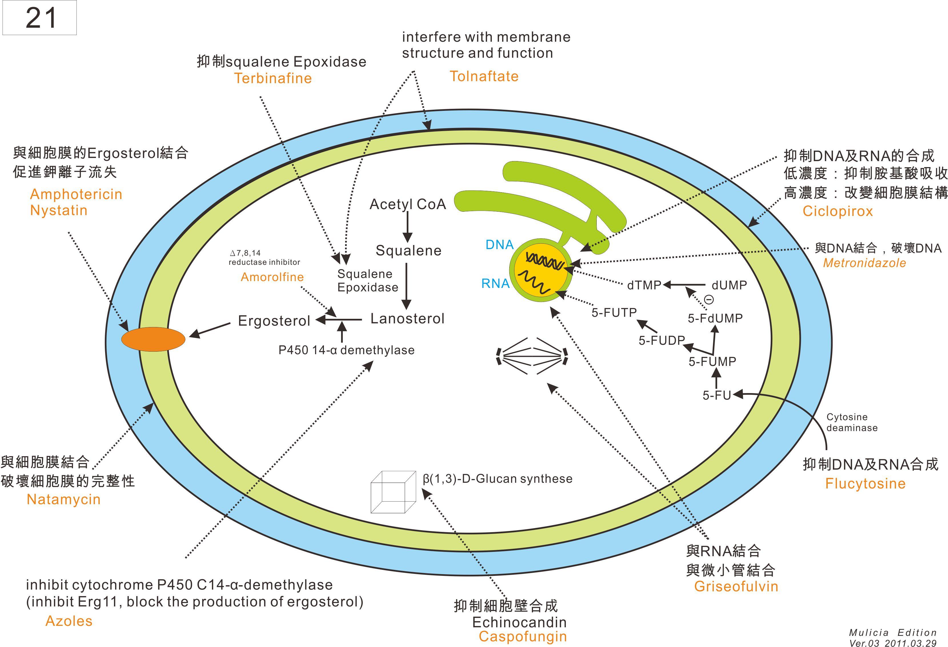 21 抗真菌機轉 3.jpg