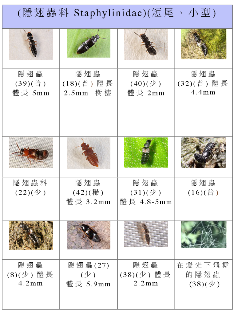 Staphylinidae-08.png
